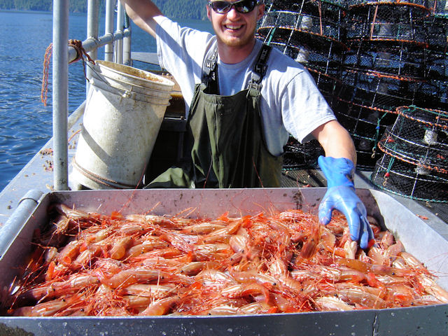 Spot Prawns on the sorting table